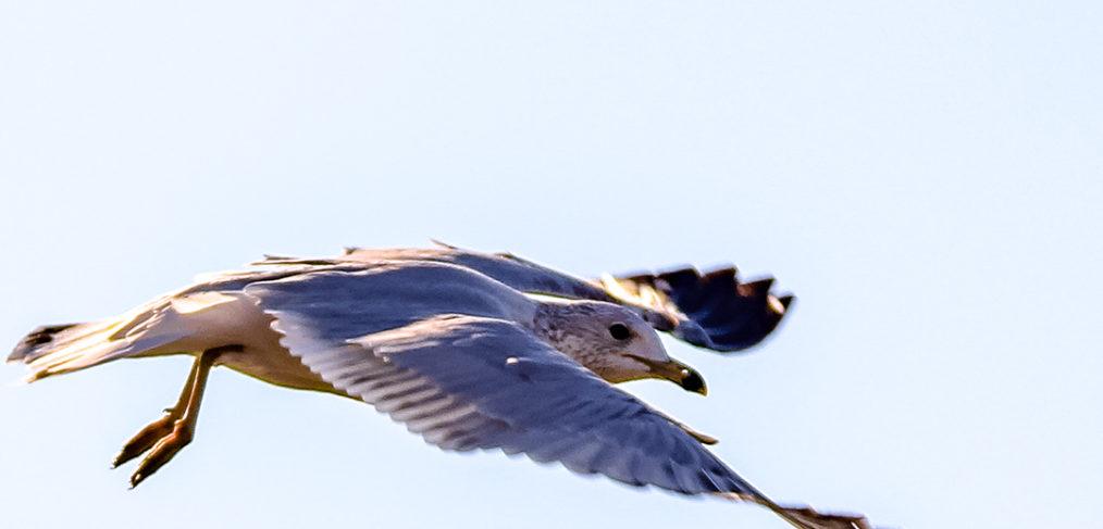 White Lake Hefner Seagull