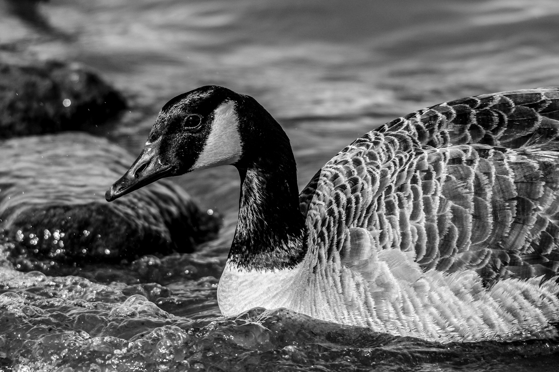 Canadian Goose  in Black and White